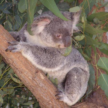 Native Flora and Fauna -   Koalas and kangaroo's and platypus.