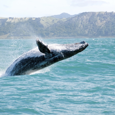 In Maui – Go whale watching December through April