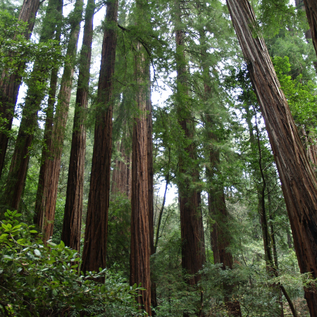Giant Redwood trees will awe and inspire when you visit Muir Woods National Park in Marin County.